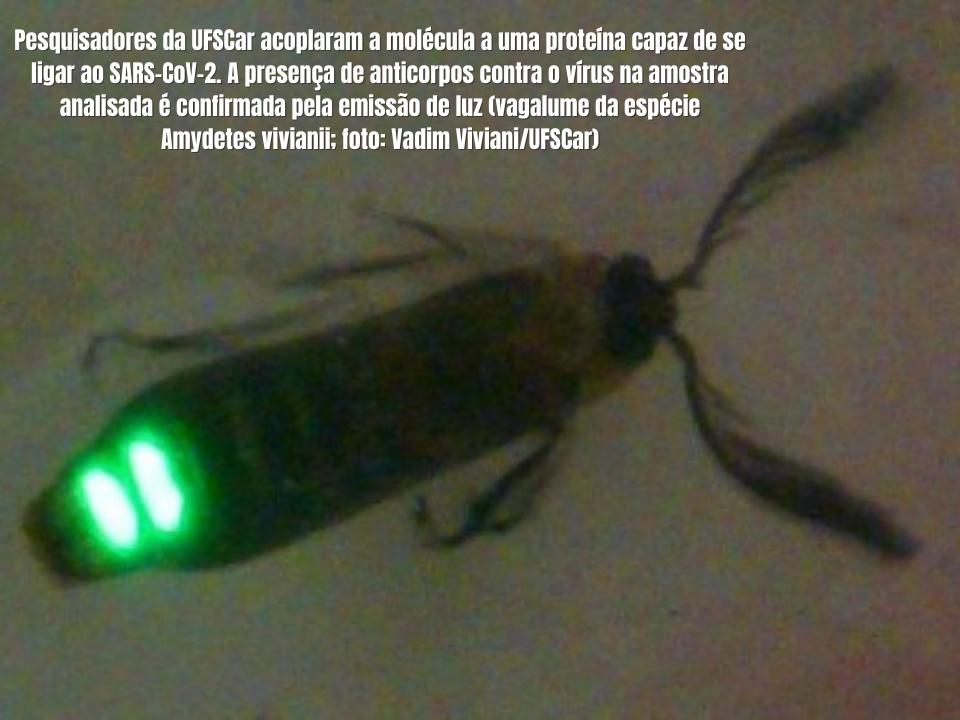 Enzima bioluminescente produzida por vagalume poderá ser usada para detectar o novo coronavírus